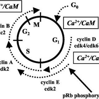 Schematic model of how calcineurin and CaMKs regulate
