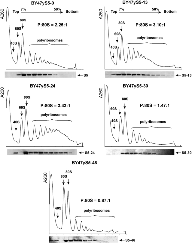 Yeast strains with N-terminally truncated ribosomal