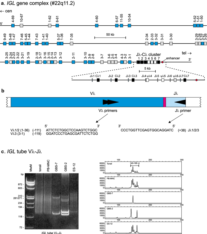 medium resolution of pcr analysis of igl gene rearrangements a schematic diagram of igl gene complex