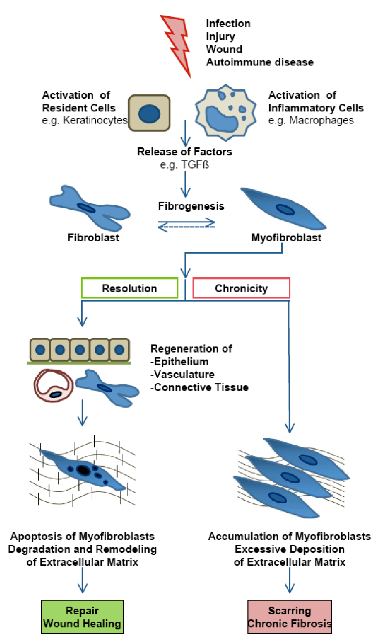 medium resolution of model of wound healing and fibrosis modified from 40