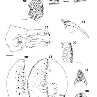 Paraleyrodes bondari : 39. Pupal case (bar = 137µm); 40