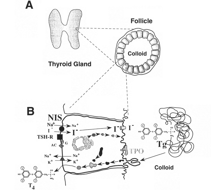 (A) Schematic representation of the thyroid gland and a