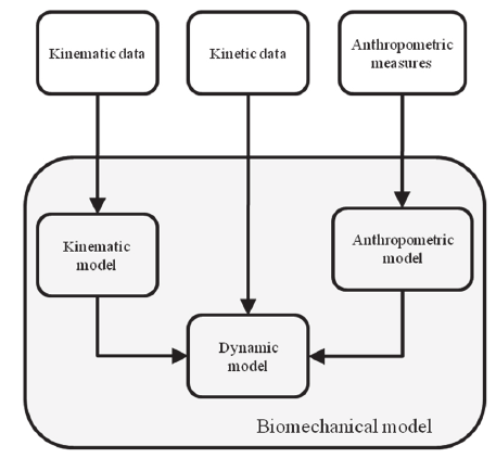 Biomechanical model composition. Most inverse-dynamic