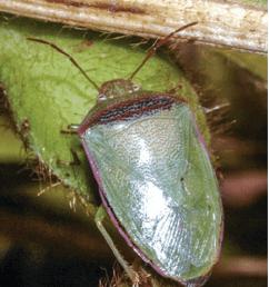 adult redbanded stink bug piezodorus guildinii courtesy of j j da silva  [ 850 x 926 Pixel ]
