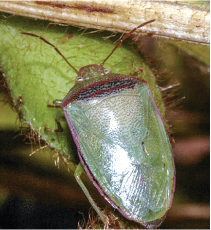 hight resolution of adult redbanded stink bug piezodorus guildinii courtesy of j j da silva