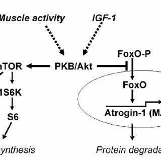(PDF) Basi fisiologiche dell'ipertrofia muscolare