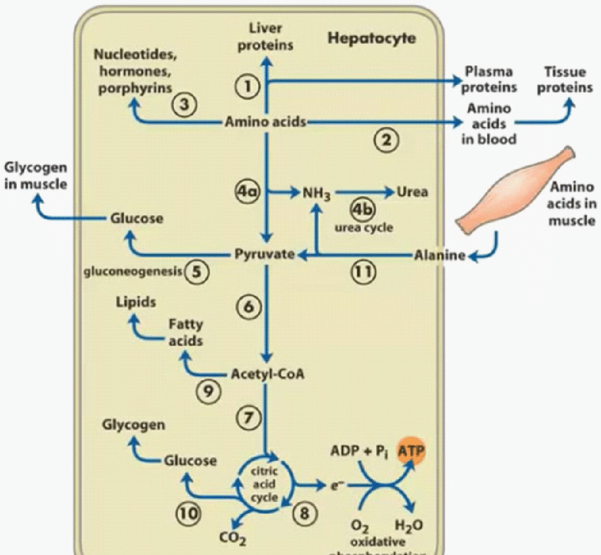 Metabolism of protein of liver, Fatty ...