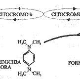 Preparación de un frotis microbiano y su tinción de gram
