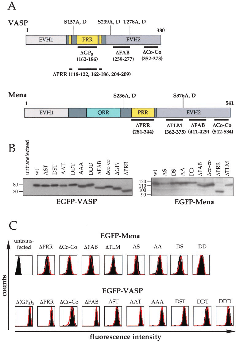 medium resolution of  a schematic diagram of mena and vasp constructs deletions thick lines and phosphorylation sites are shown at the bottom and top of mena and vasp