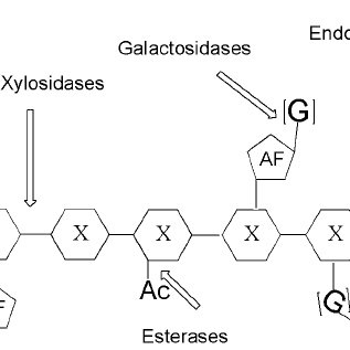 Schematic representation of enzymes attacking xylan chains
