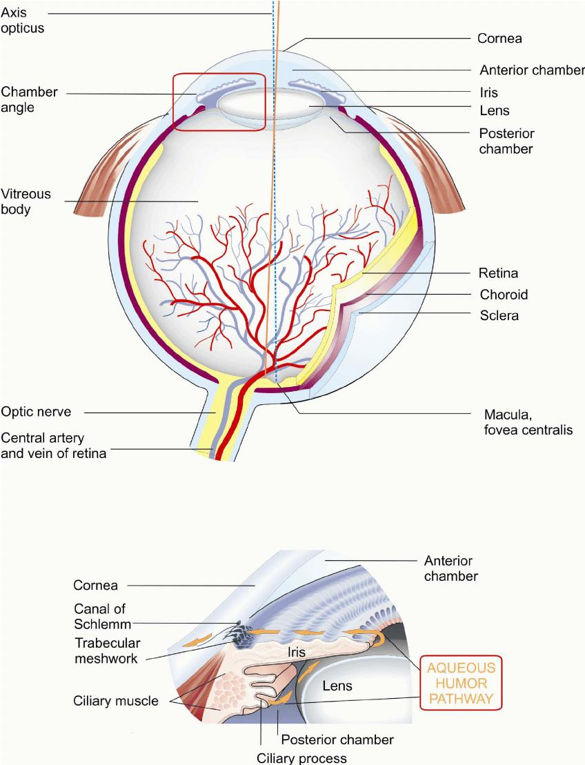 hight resolution of anatomy of the human eye and aqueous humor pathway