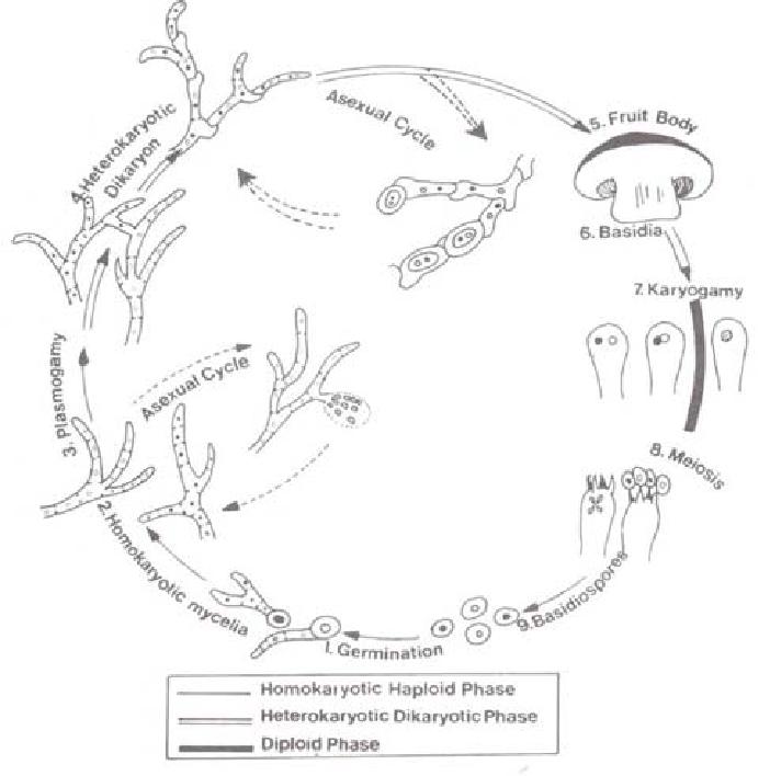 Life cycle of Agaricus bisporus (white button mushroom