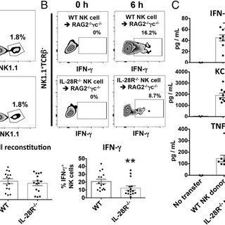 (A) IL-28R −/− mice display enhanced survival after CLP