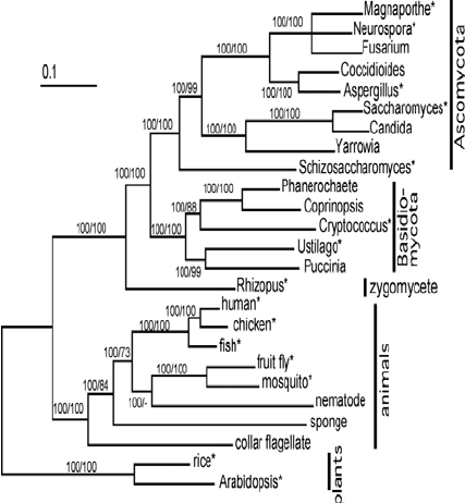 An example of a phylogenetic tree including different