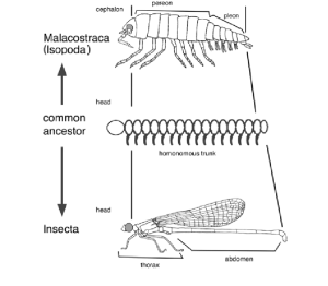 Trunk tagmosis in mandibulate arthropods A diagram of
