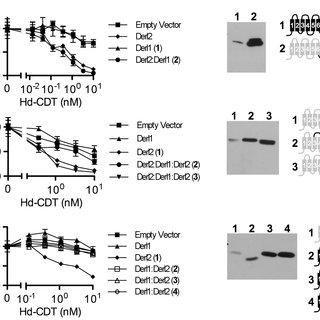 The interaction of Derl2 and p97 is not required for CDT