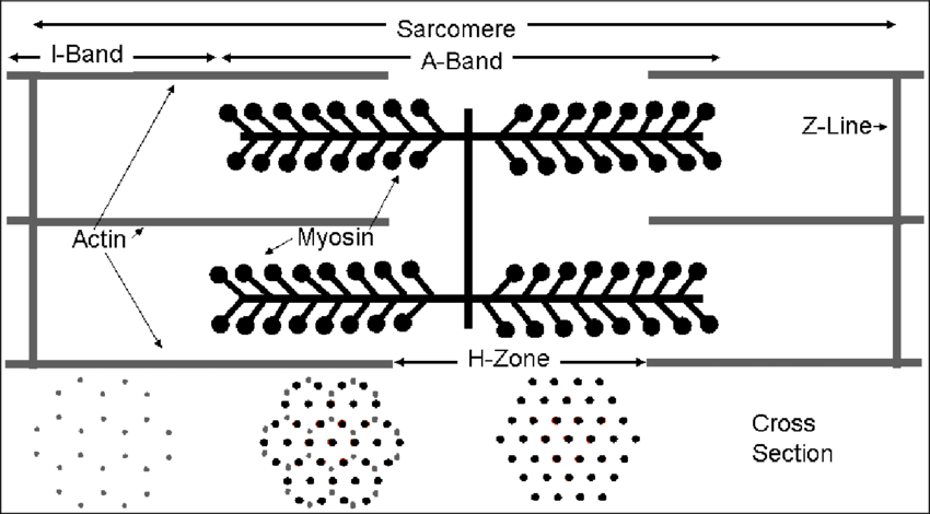 Schematic diagram of a muscle sarcomere. The isotropic and