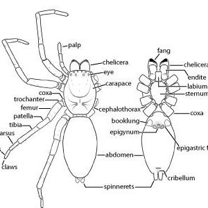 1. Overview of the morphology of spiders. a. Dorsal and