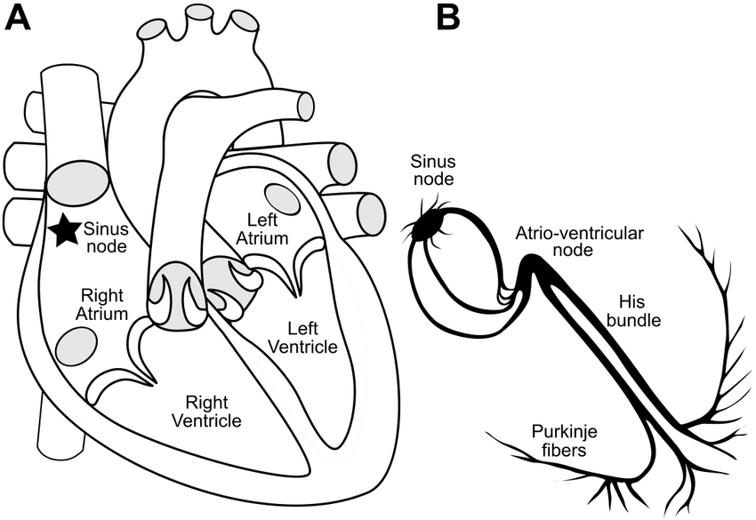 3: The human heart. In A we show a schematic central view