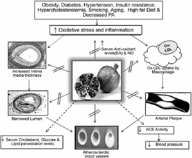 Cardioprotective mechanisms of pomegranate polyphenols