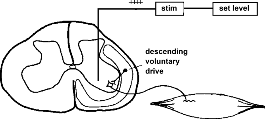 Schematic showing how steady intraspinal microstimulation