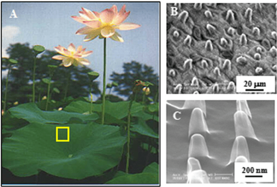 lotus in water plant diagram clarion xmd1 wiring a b micron sized protuberances on leaf and c