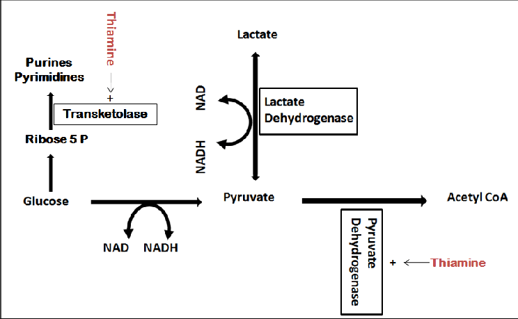 Lactic acid synthesis and role of thiamine as a cofactor