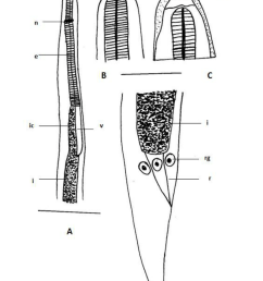 a anterior part of body note esophagus intestine junction esophagus e intestine i intestinal caecum ic nerve ring n ventricolous v b  [ 848 x 1143 Pixel ]