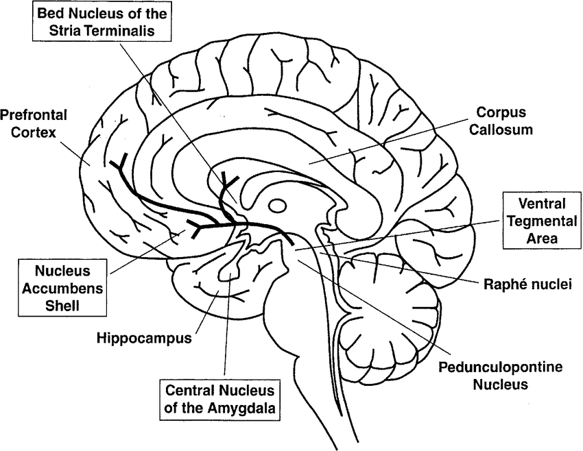 Schematic drawing of a midsagittal view of the human brain