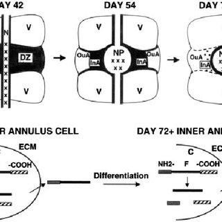 The fibripositor secretory pathway. (A) Transmission