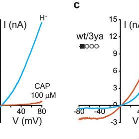 (PDF) The pain receptor TRPV1 displays agonist-dependent