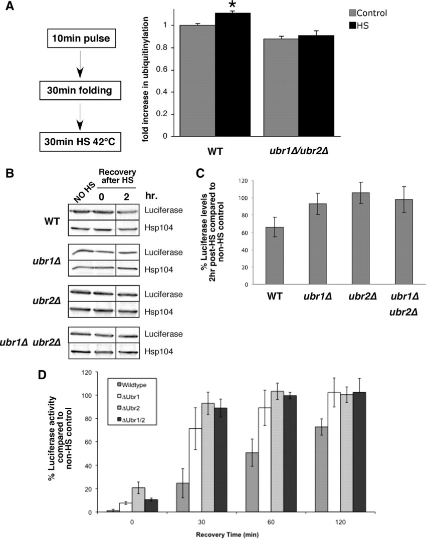 Ubr1 and Ubr2 promote ubiquitinylation and degradation of