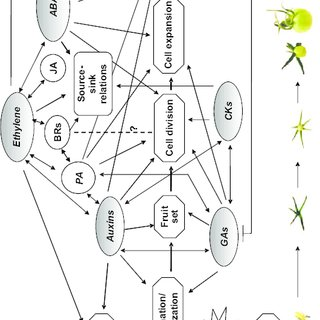 Schematic illustration of the meiotic process. (a