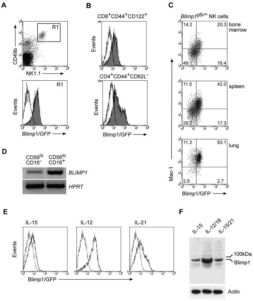 Blimp1 is constitutively expressed in NK cells and is up