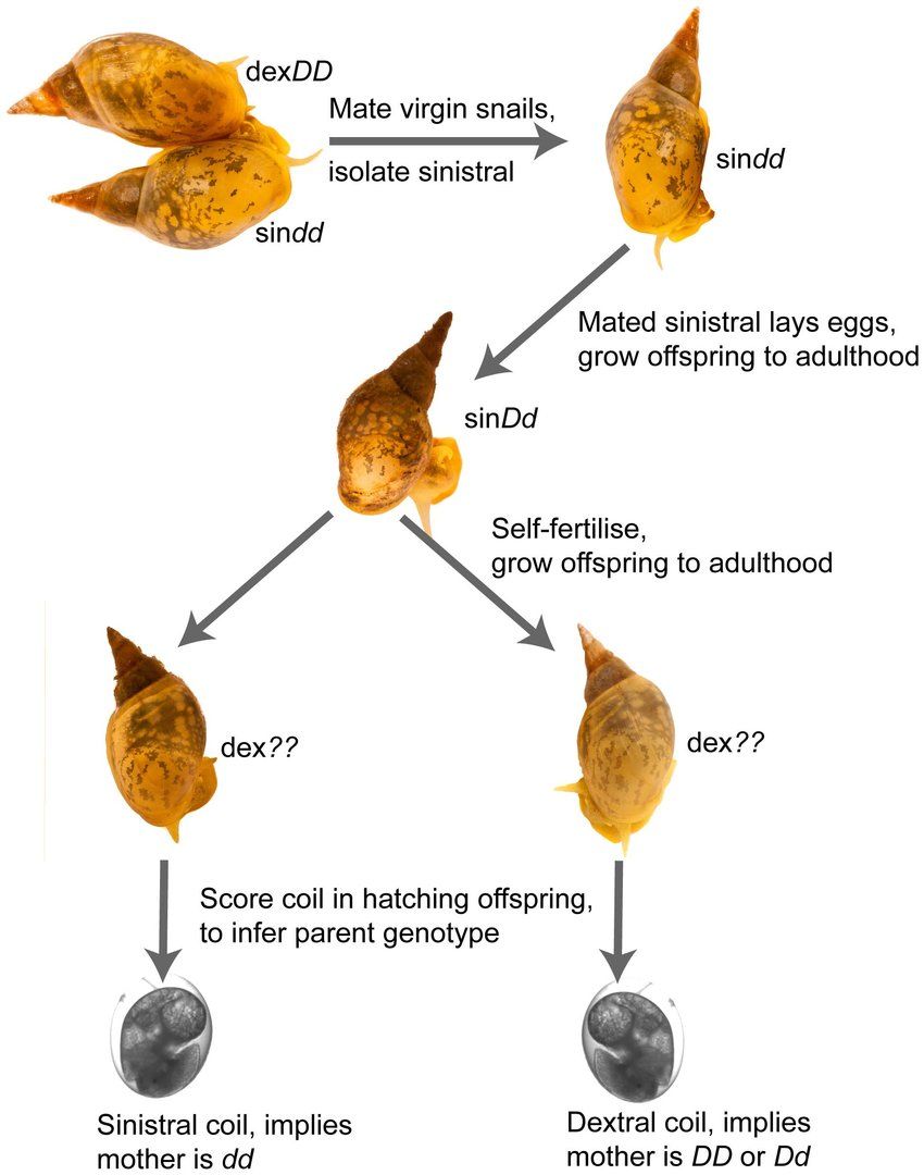 hight resolution of schematic of crossing strategy used to generate snails that segregate for chirality genotype genotypes of
