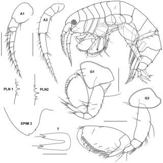 Latigammaropsis atlantica (Stebbing), male (UKMMZ-1161), 5