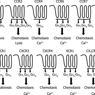 Signaling pathways induced by activating receptors that