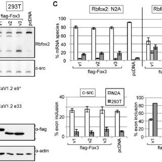 (PDF) NeuN/Rbfox3 Nuclear and Cytoplasmic Isoforms