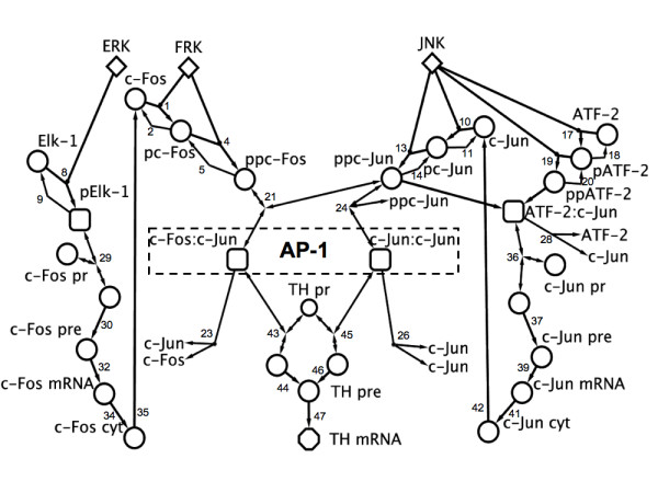 Robust dynamic balance of AP-1 transcription factors in a