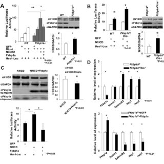 Assessment of Notch1-mediated signaling in the developing