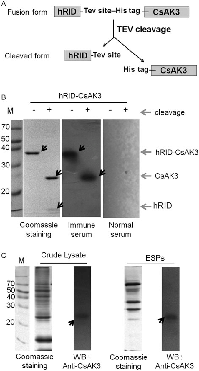 hight resolution of western blot wb analysis of the obtained immune serum samples a