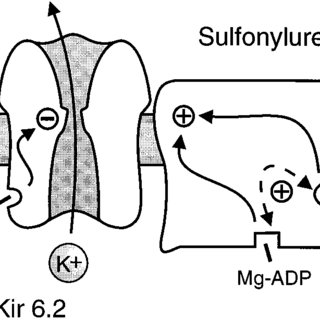 Schematic model of the pancreatic beta cell K ATP channel