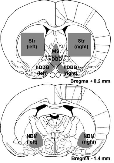 Diagram of coronal sections through the rat brain (at + 0