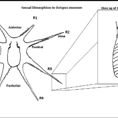 Labeled Diagram Of Octopus Incremental Encoder Wiring Sexual Dimorphism In The This Shows Position Download Scientific