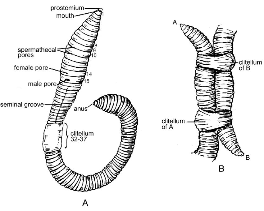 53. Lumbricus terrestris (Lumbricidae). A. External