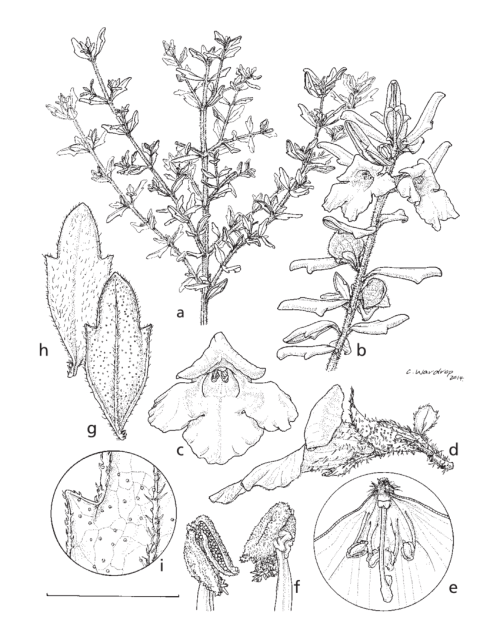 small resolution of prostanthera athertoniana a habit showing leaf arrangement on branchlet b habit showing flowering branchlet with flowers and developing fruits c