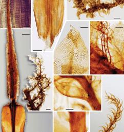 a c polytrichum commune a leaf  [ 850 x 1184 Pixel ]