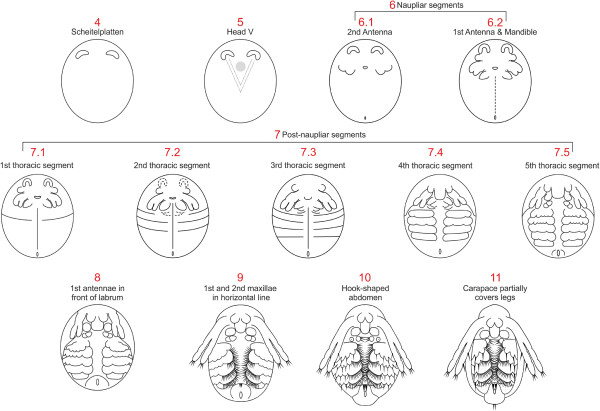 Summary of all developmental stages of Daphnia magna. The