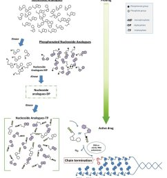 transformation from prodrug into active drug of nucleoside analogues and [ 850 x 968 Pixel ]