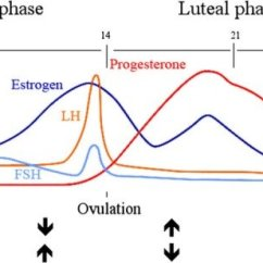 Menstrual Cycle Diagram With Ovulation Of Crossing Over During Inhibition And Excitation Across The Early Download Scientific